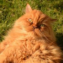 Persian Cat Breed Info