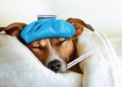 Canine Influenza Update in New York City